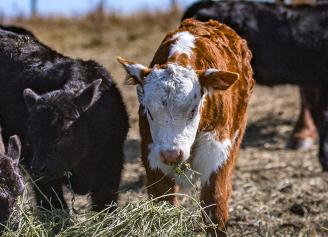 Calving Resources